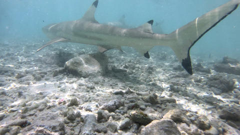 Blacktip Reef Shark attacking biting camera swimming in French Polynesia, Tahiti Live Action