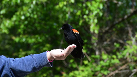 Hand feeding a red wing blackbird Archivo