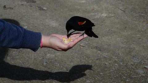 Hand feeding a sandhill crane Acción en vivo
