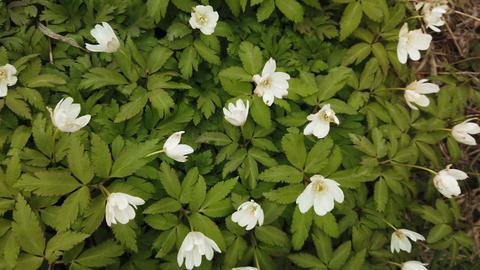 Spring white flowers Europe. Noble mayflower (Hepanca nobilis) Live Action