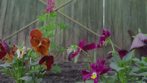Multi-colored flowers of pansies Footage