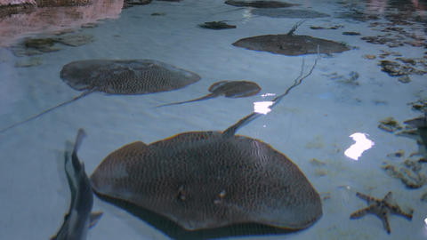 Stingrays with another marine fishes floats on the deep Live Action