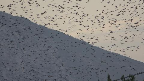 Flock of Birds 1 Footage