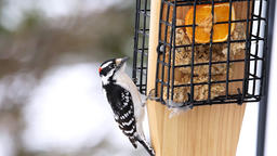 Closeup of suet cake bird feeder and downy male red woodpecker male eating Live Action