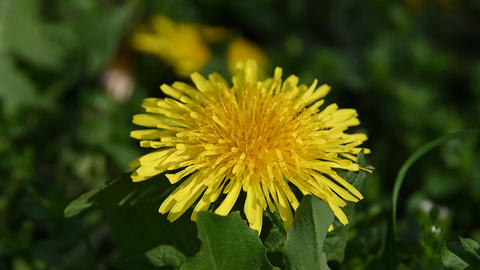 Close up one yellow dandelion flower head Live Action