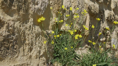 Yellow flower growing on crack grunge wall. Symbol of strength and hope Live Action