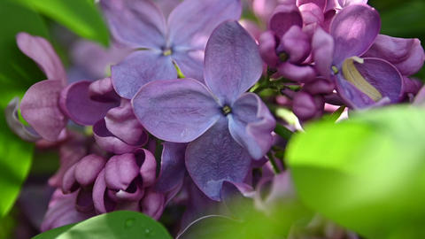 Extreme close up purple lilac flowers Live Action