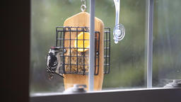 Suet cake bird feeder and wet downy male red woodpecker male eating in rain Footage
