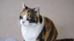Calico cat friendly blinking asking for food looking cute on carpet floor Footage