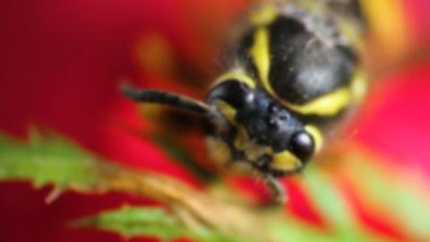 Focus on bee head sit on red flower, macro Archivo