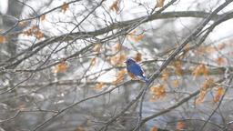 Blue bluebird bird perched on oak tree during winter spring autumn Footage