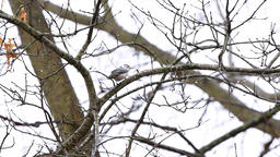 White-breasted nuthatch bird on tree branch during winter tree in Virginia Footage