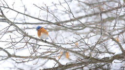 Blue bluebird single bird perched on tree branch during winter snow Footage
