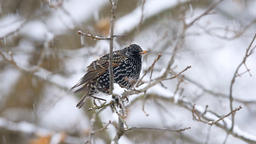 European starling bird perched on tree branch during winter snow flying away Footage