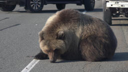 Wild hungry brown bear on road, begs for human food from people Footage
