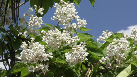 Catalpa bloom in the summer Footage