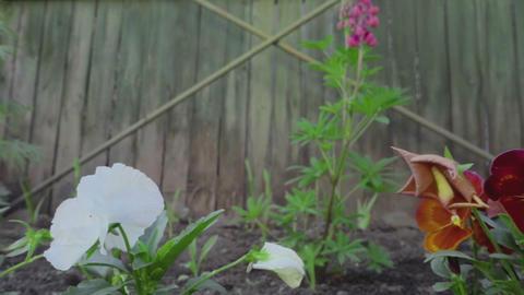 Multi-colored Flowers Of Pansies stock footage
