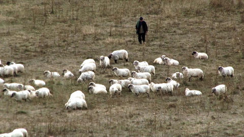 Shepherd who keeps sheep are grazing on a pasture dry summer heat 01 Footage