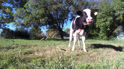 Calf cow, farm calf, calf grazing, breed calf black and white Footage
