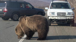 Wild hungry brown bear walking on road and begs for human food from people Footage