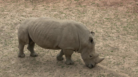 Southern white rhinoceros (Ceratotherium simum simum). Wildlife animal. Critically endangered animal Footage