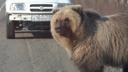 Hungry wild brown bear walking on road and begs for human food from people Footage