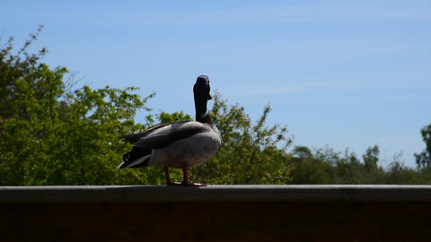 A mallard duck likes to stay on the fence Archivo