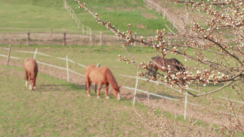 Flower buds of fruit tree and grazing horses in farm paddock Footage