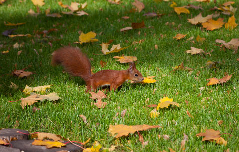 Red squirre jumping in an autumn grass Photo