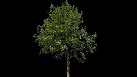 Tilia Isolated Tree Footage