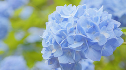 4K_UHD / HD Hydrangea Blue01紫陽花 Live Action