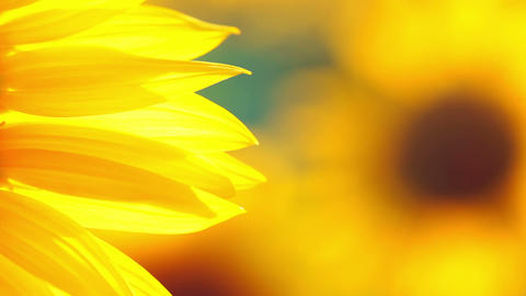 Background with Sunflower Petals Footage