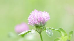 Little violet flower 002 Footage