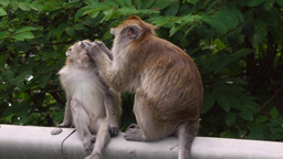 Long-tailed Macaque Monkey Adult Grooming Fur of Juvenile 4k Footage