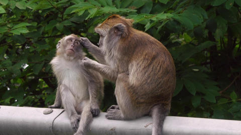 Long-tailed Macaque Monkey Adult Grooming Fur of Juvenile 4k Stock Video Footage
