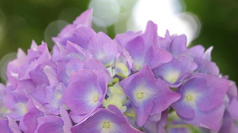 Little hydrangea flower 0015 ビデオ