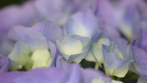 Little hydrangea flower 0018 ビデオ