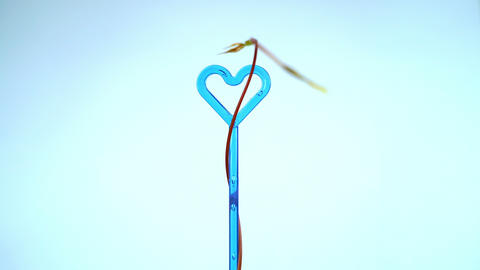 Convolvulous plant curling spinning around blue heart... Stock Video Footage