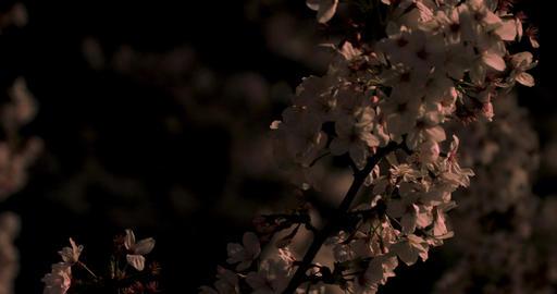 Cherry blossom at the park in Tokyo at night closeup ビデオ