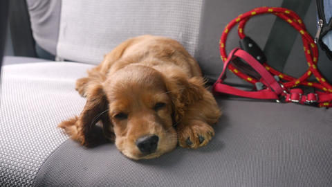 Cocker spaniel puppy laying on back seat of the car Footage