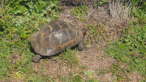 Tortoise crawling green grass Live Action