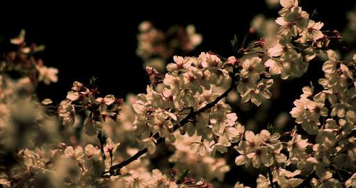 Cherry blossom at the park in Tokyo at night medium shot ビデオ