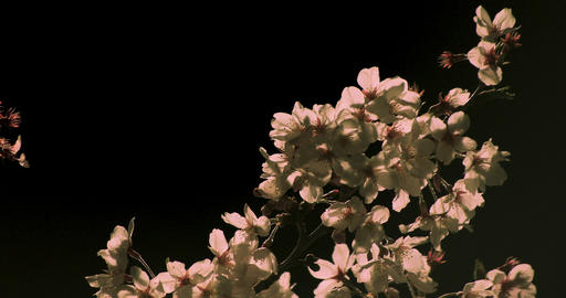 Cherry blossom at the park in Tokyo at night closeup Archivo