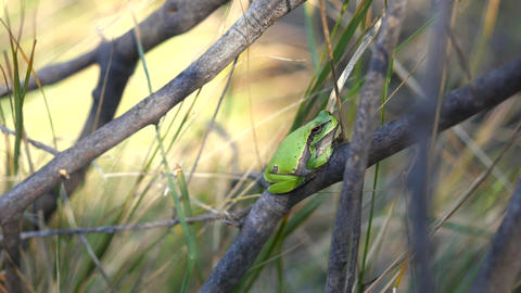 European tree frog, Hyla arborea, sitting on grass straw with clear green Footage
