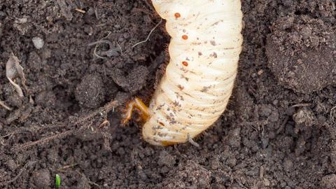 May bug larva in soil, timelapse Footage