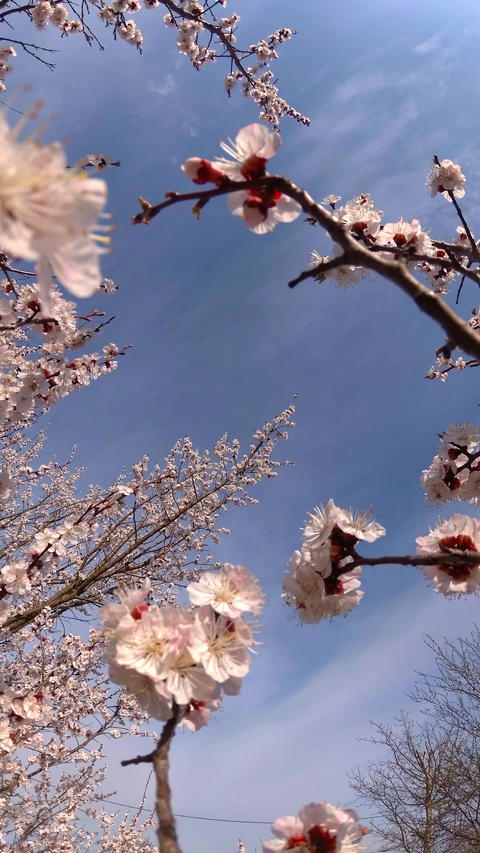 Apricot in bloom vertical video UHD GIF
