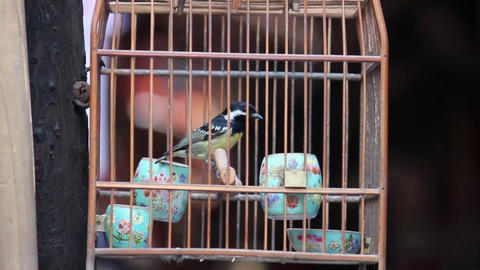 Caged bird flapping around in wooden cage for sale on Street Live Action