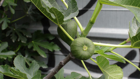 Focus On A green Fig Tree In Spring Live Action