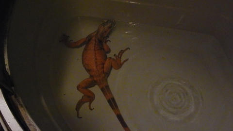 Iguana living in a terrarium and illuminated with a quartz lamp Archivo