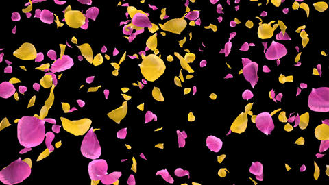 Flying Romantic yellow pink Rose Flower Petals Falling Alpha isolated Loop Animation